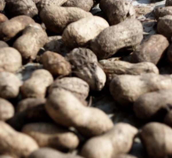 frische Erdnüsse, lose, 300g, unbehandelt, Afrika