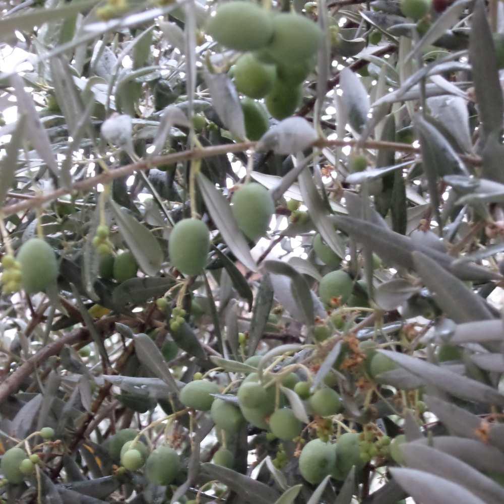 olivenambaum