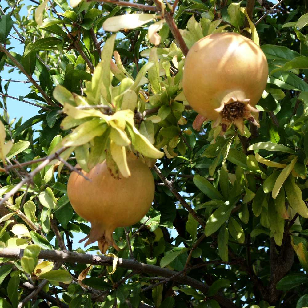 granatapfelbaum