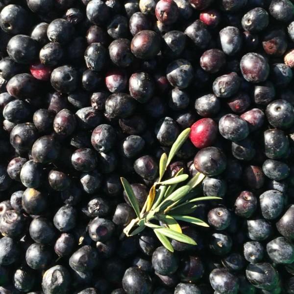 frische Oliven direkt vom Baum, schwarz, 500g, lose, roh Bio