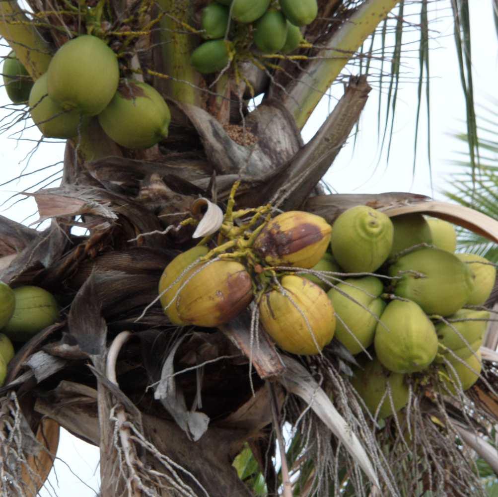 kokosnusseambaum